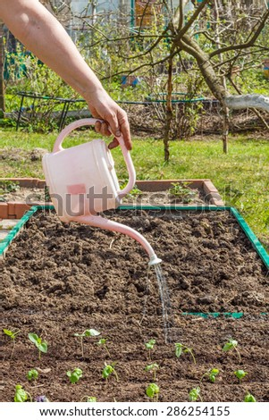 Female hand holding a watering can and watering seedlings of Basil in the vegetable garden.  Household plot. Dacha. - stock photo
