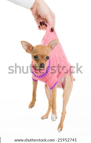 Female hand holding funny Chihuahua dog over white background