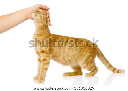 female hand patting cat. isolated on white background - stock photo