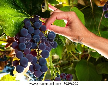 female hand picking moscato grapes within italian wineyard - stock photo
