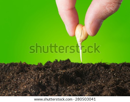 Female hand planting seedlings in the ground chickpeas. Close up - stock photo