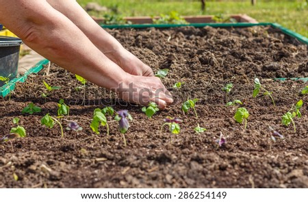 Female hand planting seedlings of Basil in the vegetable garden. Household plot. Dacha. - stock photo