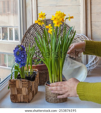 Female hand watering daffodils and hyacinths in a pot on the windowsill - stock photo