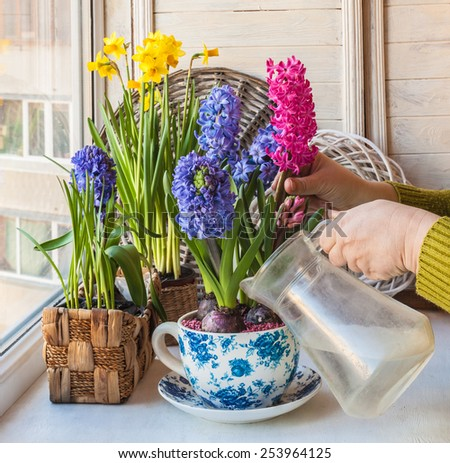 Female hand watering flowering hyacinths in a vintage pot-cup on the windowsill - stock photo