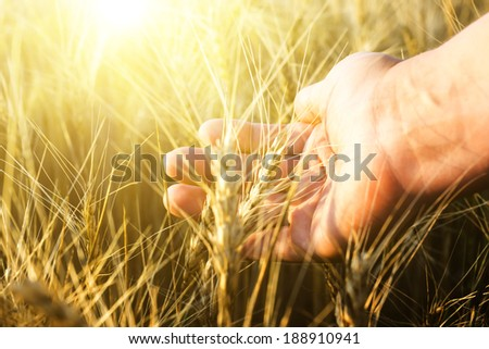 Female hand wins the ears of wheat. Agriculture. The sunset. - stock photo