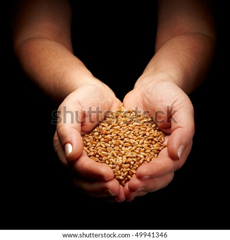 female hands cupped holding wheat isolated on black