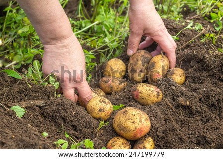 Female hands harvesting fresh potatoes from soil - stock photo