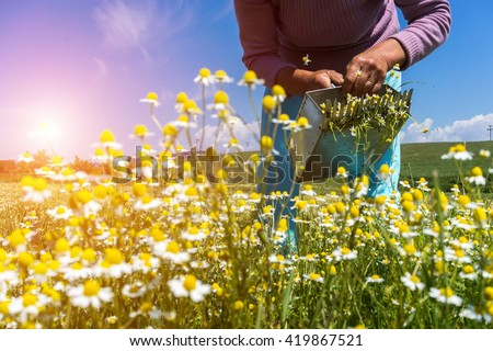 Female hands harvesting of chamomile from field