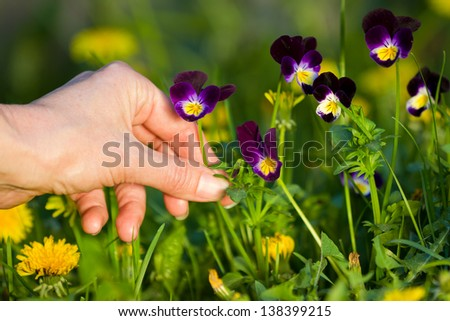 female hands picking beautiful purple pansies on a warm sunny afternoon