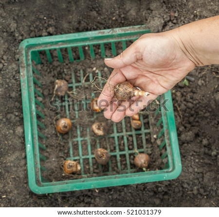 Female hands planting narcissus bulbs in a basket on a bed, shallow depth of field with copy space