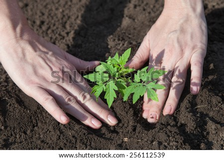 Female hands planting tomato seedlings in the ground