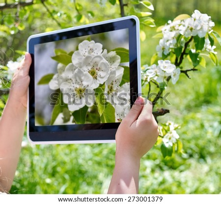 Female hans snapshot blossoming cherry tree on  tablet pc. Romantic style. - stock photo