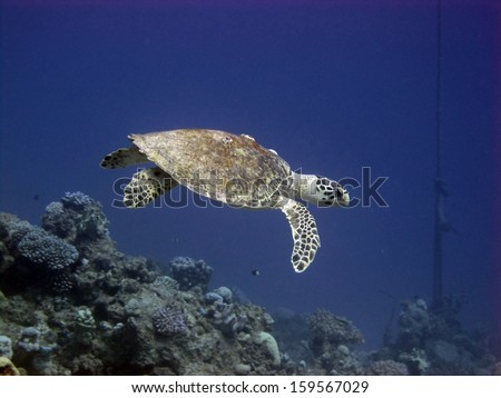 Female Hawksbill turtle in the blue