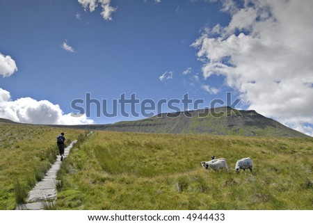 Female hiker ascending the path to Ingleborough from Chapel-le-Dale. Four sheep can be seen grazing on the moorland grass and Ingleborough rises in the distance