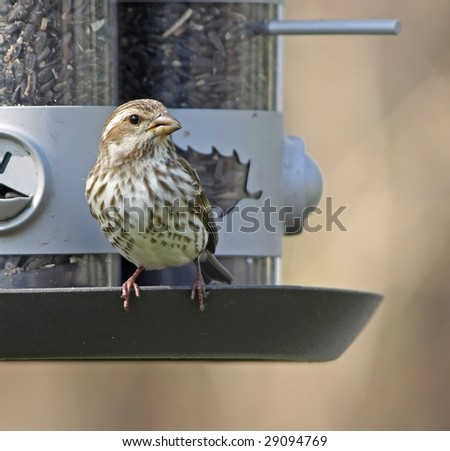 Female House Finch on feeder - stock photo