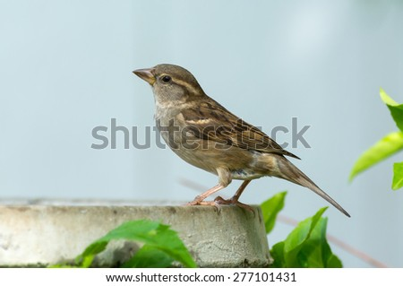Female house sparrow perched on a bird bath. - stock photo