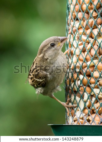 Female house sparrow sitting on bird feeder looking right - stock photo