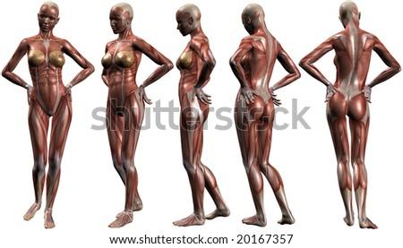 Female Human Body Anatomy - stock photo