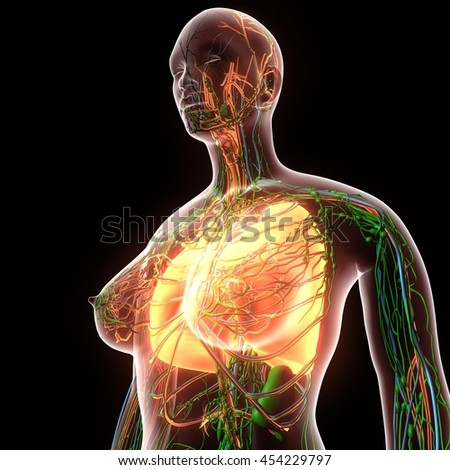 Female Human Body Organs Lungs Anatomy Stock Illustration 454229797 ...