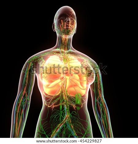 Female Human Body Organs Lungs Anatomy Stock Illustration 454229827 ...