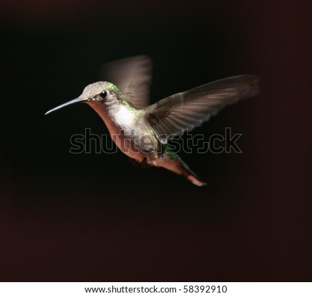 female hummingbird - stock photo