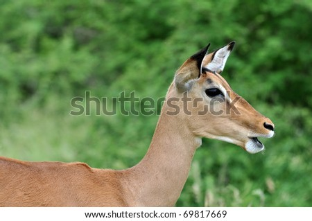 Female Impala Antelope (Aepyceros Melampus) in the Kruger Park, South Africa.