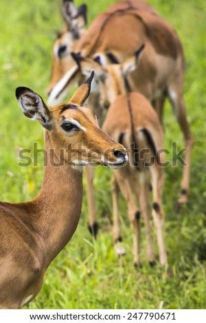 Female impala antelopes in Maasai Mara National Reserve, Kenya. - stock photo