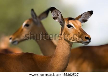 Female impala antelopes, Tarangire National Park, Tanzania - stock photo