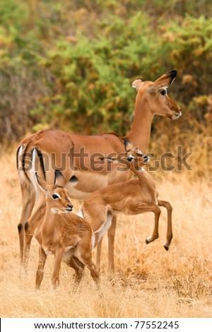 Female impala with young impalas, Samburu, Kenya - stock photo