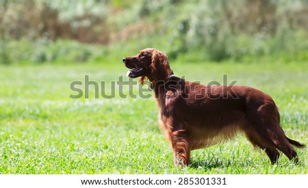 Female Irish Setter standing on green grass