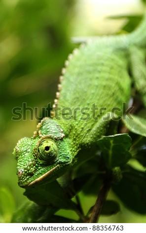 Female Jackson's Chameleon (Trioceros jacksonii) climbs down a branch. - stock photo