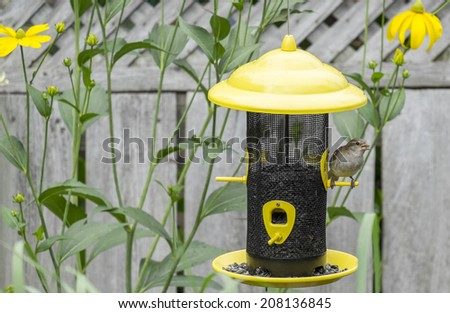 Female Juvenile House Sparrow Eating Sunflower Seeds at a Bird Feeder - stock photo