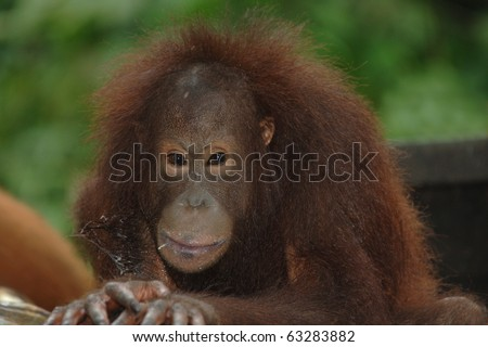 female juvenile orangutan, borneo, south east asia orange monkey - stock photo