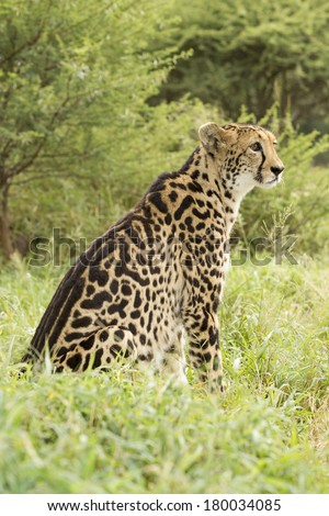 Female King Cheetah standing looking ahead South Africa - stock photo