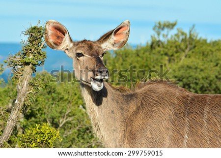 Female Kudu browsing