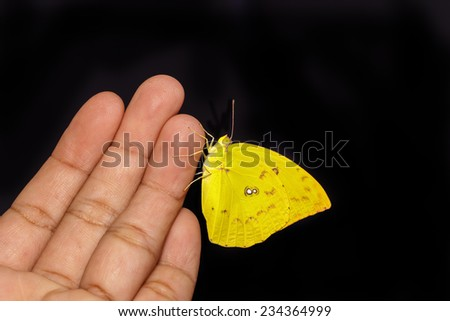 Female Lemon emigrant butterfly resting on hand