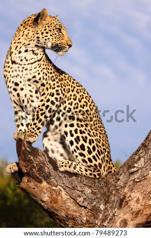 Female leopard in tree - stock photo