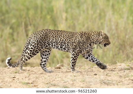 Female Leopard (Panthera pardus) walking in dry river bed, South Africa - stock photo