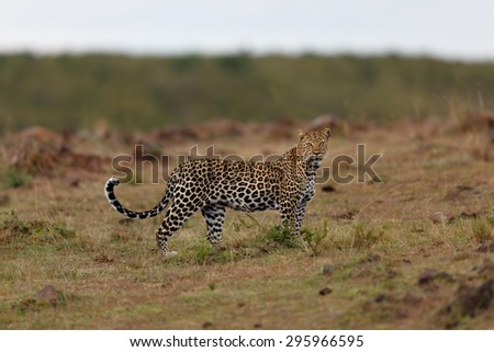 Female Leopard Siri looking up to her territory in Masai Mara, Kenya
