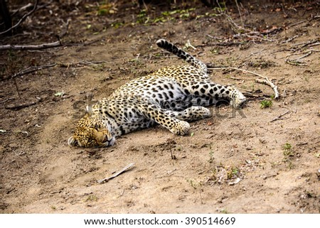 Female leopard stretched out on the ground