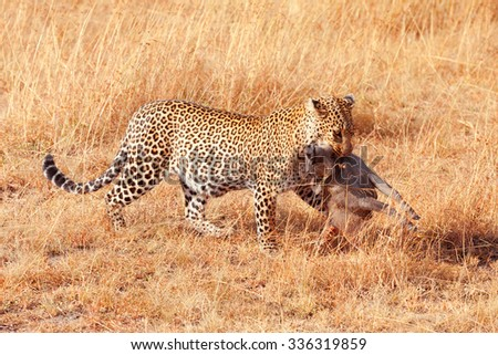 Female leopard walking in grass and carrying its pray in its mouth - young baby warthog, Masai Mara, Kenya