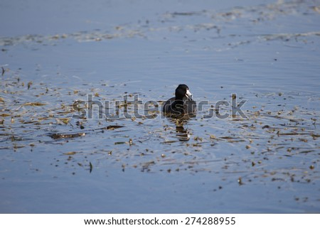 Female Lesser Scaup Ducks fishing in large body of water - stock photo