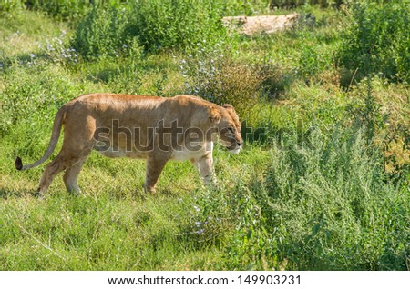 Female liger (lion and tiger hybrid) walking over the green grass - stock photo