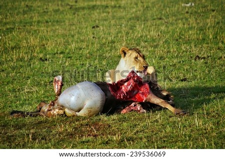 Female lion eating his wildebeest kill in the Masai Mara National Park, Kenya - stock photo