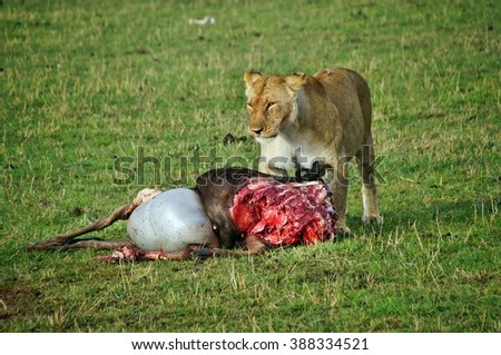 Female lion eating his wildebeest kill in the Masai Mara National Park, Kenya - stock photo