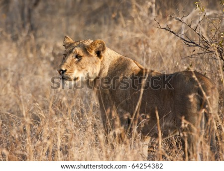 Female lion hunting in dry grass - stock photo