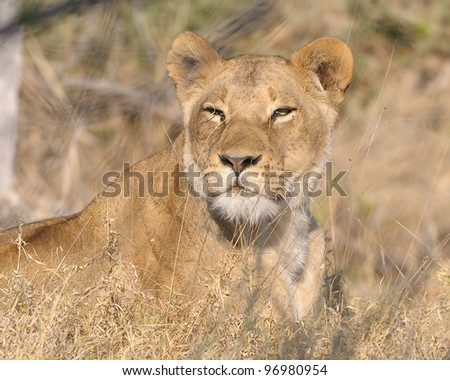 Female lion hunting in Khwai area of Botswana, Africa - stock photo