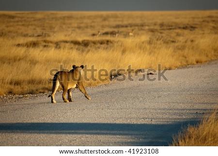 Female Lion Hunts springbok - stock photo