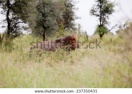 Female Lion in the bush. South Africa, Kruger National Park. - stock photo