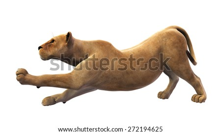 Female lion, lioness stretching on white background